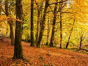 Beech trees in their full autumn colour at Horner Hill, Exmoor National Park, Somerset, England, United Kingdom