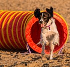 A spring spaniel joyously races out of the agility tunnel