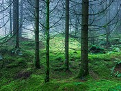 Stockhill Forest in the Mendip Hills near Priddy, Somerset, England, UK