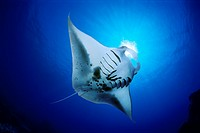 manta ray feeding on plankton, Manta birostris, Kona Coast, Big Island, Hawaii, USA, Pacific Ocean, digital composite
