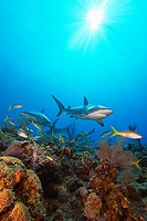 Caribbean reef sharks, Carcharhinus perezi, and yellowtail snappers, Ocyurus chrysurus, swimming over coral reef, Grand Bahamas, Bahamas, Caribbean Se...