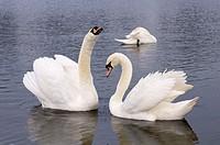 Mute swans in Round Pond, Kensington Gardens, London