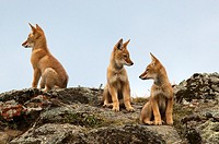 three Ethiopia wolf pups