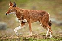 Ethiopian wolf walking