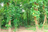 Forest Botanical Garden Caracas