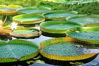Victoria cruziana, Caracas Botanical Garden, Venezuela