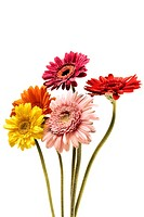 Gerberas isolated on a white background