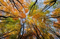 Beech Trees in a woodland displaying their autumn colour  Prior´s Wood, Portbury, North Somerset, England
