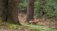 A fox in a wooded area looking at the camera