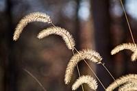 Foxtail grass in autumn  Salt Creek Nature Preserve, Illinois
