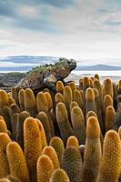 The endemic Galapagos marine iguana Amblyrhynchus cristatus on lava cactus Brachycereus spp on Fernandina Island in the Galapagos Island Archipelago, ...