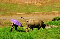 man with umbrella and water buffalo, Bubalus bubalis, grazing beside soccer field, Sapa, Lao Cai Province, Vietnam