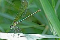 Western Demoiselle, Calopteryx xanthostoma  Female on grass