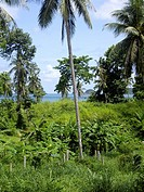 Palmtrees and banana trees with a sea view in Ko Chang island, Thailand
