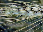 Wheat ear closeup