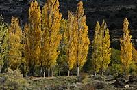 Black Poplar (Populus nigra), Fall, El Cubillo, Serrania de Cuenca.