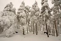 Snowny pine wood, Guadarrama mountains, Madrid, Spain