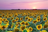 Field of Sunflowers at sunset in an open field in west Texas, USA