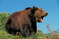 Brown Bear, ursus arctos, Adult calling