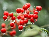 Raindrops hang tenuously on bright red pyracantha berries