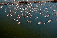 Spain, Balearic Islands, Mallorca, flying Flamingos