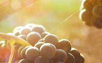 Vine with ripe grapes  Lanciego  Rioja alavesa wine route  Alava  Basque country  Spain
