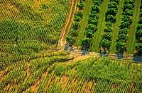 Aerial erosion through corn plantation next to orchard in Oceana county, Michigan, USA