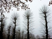 silhouettes of willows in wintertime, the Netherlands