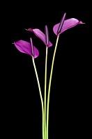 Anthurium anderianum ´Sensa´ trio vertical