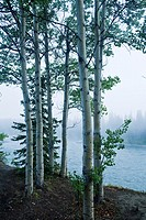 Quaking Aspen trees Populus tremuloides beside the Nenana River, just outside Denali National Park, Alaska, USA, early morning fog, late August