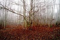 Alder forest Alnus on a foggy autumn day. Vaesternorrland, Sweden, Scandinavia, Europe