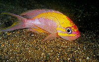 Fairy basslet ,  Barbier (Anthias anthias). Eastern Atlantic, Galicia, Spain