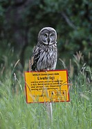 Great Grey Owl, Strix nebulosa, Botkyrka, Sweden.