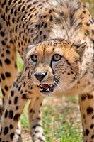 Cheetah, Acinonyx jubatus, Guepard, De Wildt Cheetah Centre, South Africa, Africa