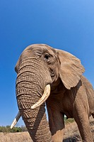 Elephant, Loxodonta africana, Glen Afric, South Africa, Africa