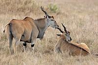 Young male Elands (Taurotragus oryx). Masai Mara Preserve, Kenya