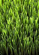 Fresh Green Wheatgrass Growing
