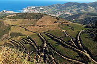 France, Pyrenees-Orientales, Vineyard above Banyuls sur Mer and Port Vendres which produces Banyuls. The Banyuls is a sweet wine.