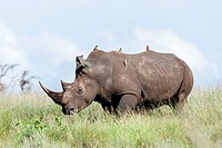 White rhinoceros or square-lipped rhinoceros Ceratotherium simum  Red-billed Oxpecker Buphagus erythrorhynchus is riding on the back  Africa, East Afr...