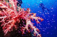 Diver and soft coral  Near Loloata Island  Papua New Guinea  South Pacific