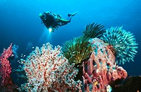 Scuba diver and coral reef  Wakatobi Dive Resort  Southern Sulawesi  Indonesia