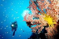 Scuba diver and soft coral  Witu Islands  Papua New Guinea