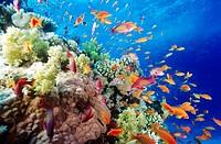 Coral reef  Southern Red Sea, near Safaga  Egypt