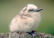 White tern chick (Gygis alba), Midway Atoll
