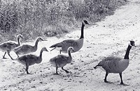 Family of Canada geese (Branta canadensis), New York, USA