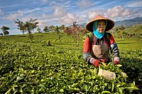 Woman picking tea at Malabar Tea Estate. Indonesia, Java, Jawa Barat, Bandung, Malabar Tea Estate. (/Julien Garcia)