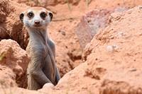Meerkat, Suricata suricatta, Kgalagadi Transfrontier Park, Northern Cape, South Africa