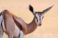 Springbok, Antidorcas marsupialis, Kgalagadi Transfrontier Park, Northern Cape, South Africa.