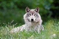 Timber Wolf (Canis lupus lycaon), Bavaria, Germany.