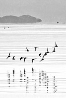 Birds skimming the water in Nafplio bay, Peloponnese, Greece,.